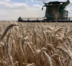 Agriculture : la pluie retarde la moisson et affecte la qualité du blé